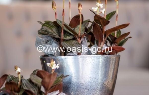 Лудизия (Орхидея)